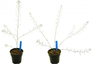 Two plants of the mustard Arabidopsis thaliana, one undamaged (left) and one damaged (right). Damaged plants usually regrow with more stems than undamaged plants. Photo credit: Daniel Scholes